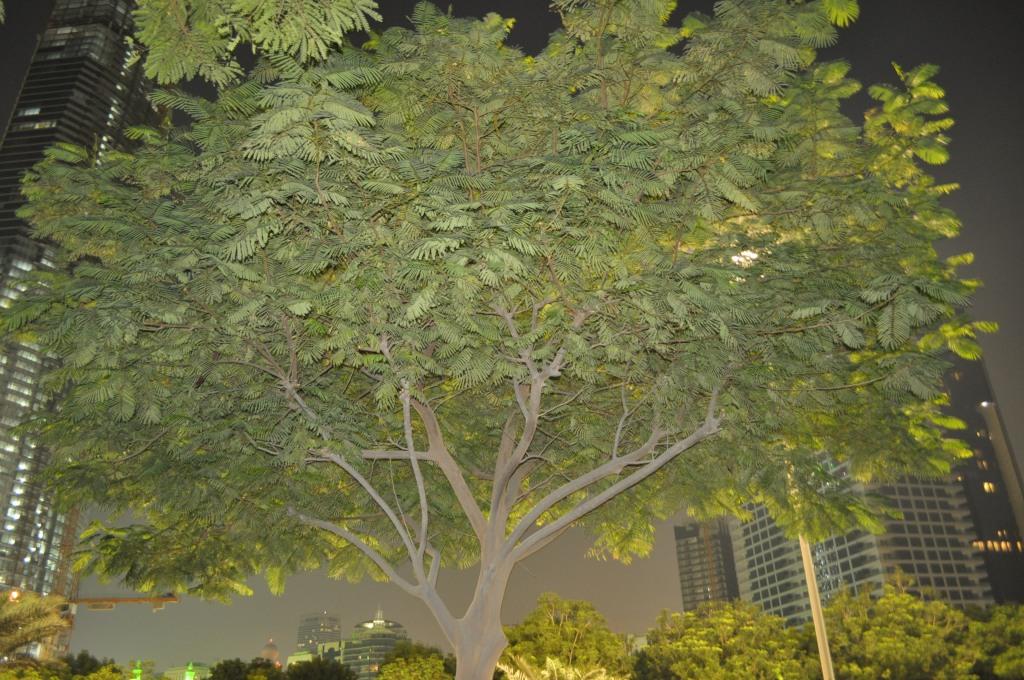 corniche tree
